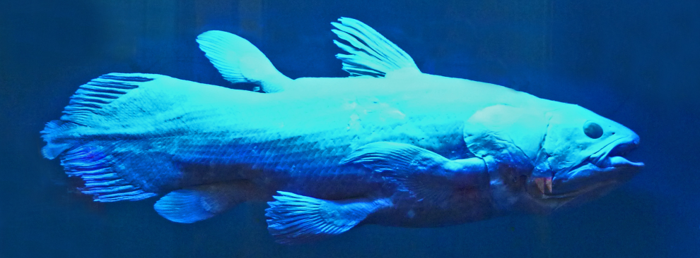 coelacanth-blue-990x366